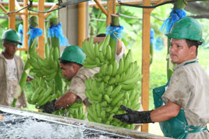 Workers Harvesting Colombian Bananas