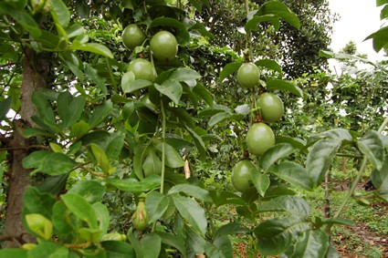 fruit tree photo