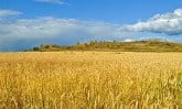 wheat-field-PD