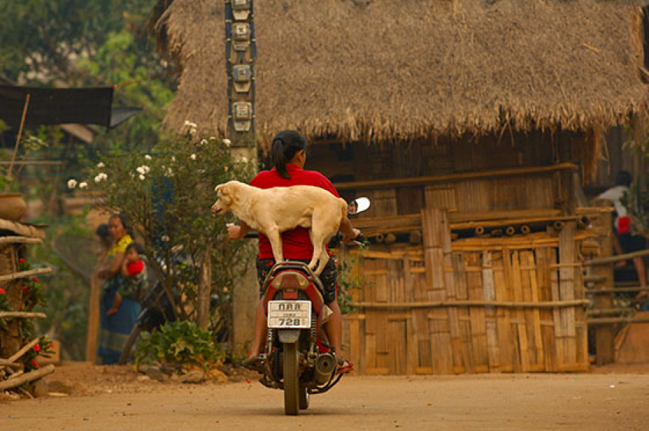 Pictures of Dogs Thailand Motorcycle
