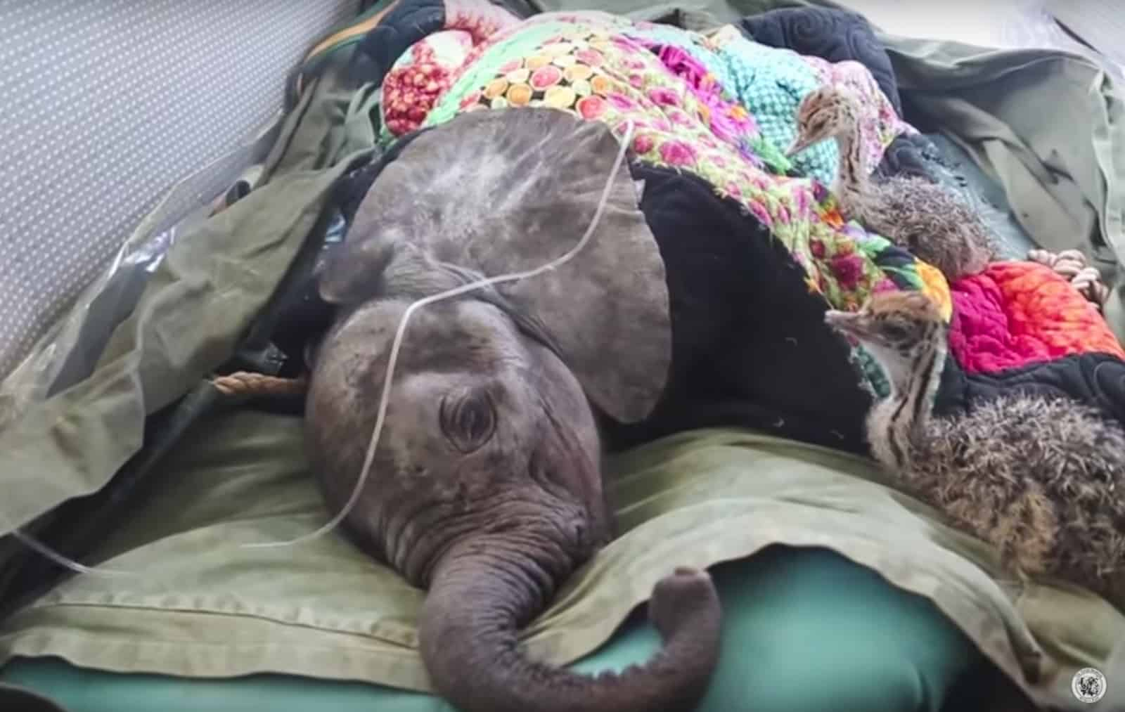 A Baby Elephant Rescuer Wass