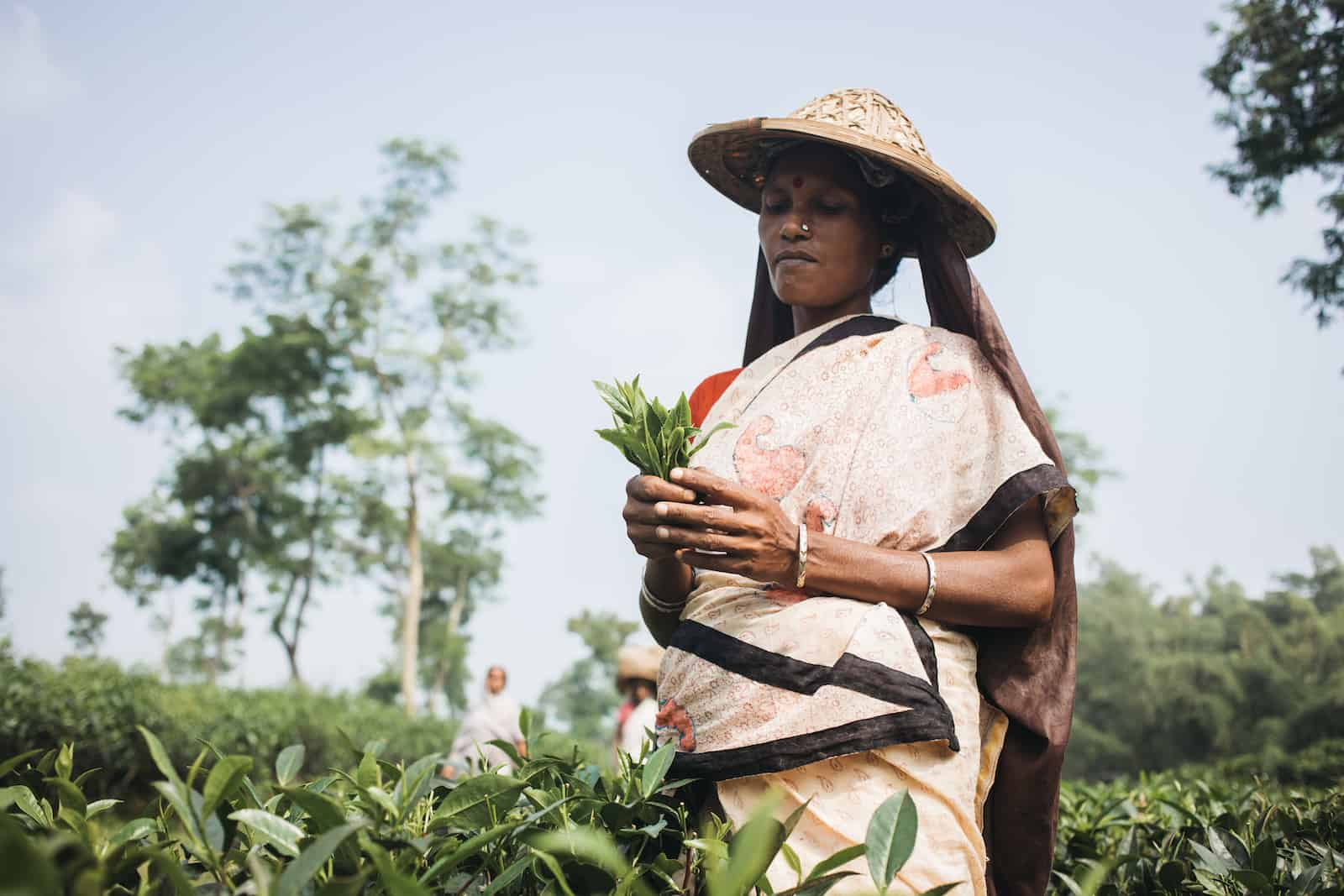 A woman stands in a field holding tea leaves in her hand, the most popular drink in the world. She wears a sari and a straw hat with a bag underneath to hold tea leaves. She stands in a large field.
