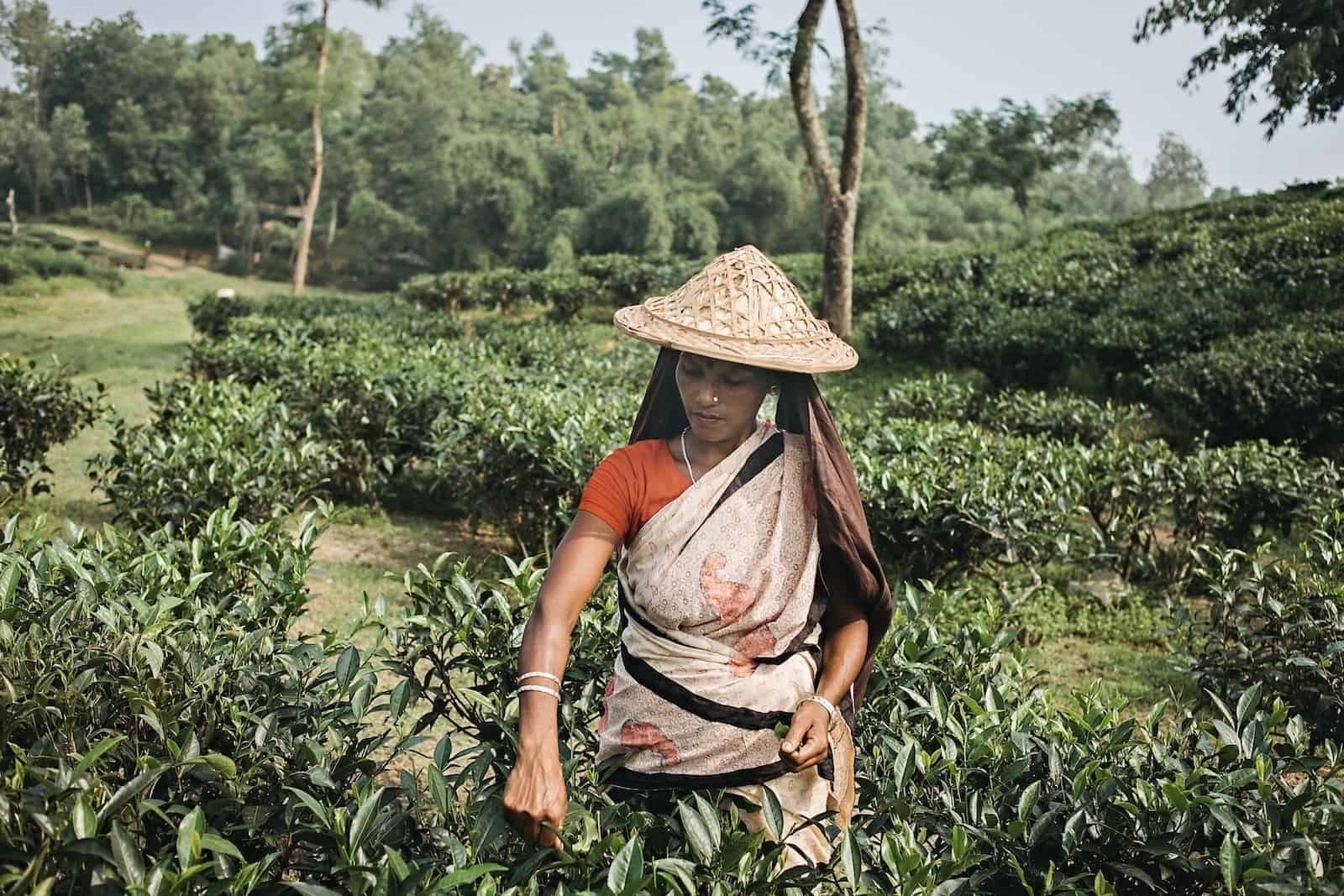 A woman wearing a straw hat, red shirt and tan colored sari stands in a large green field full of bushes, picking leaves to make the most popular drink in the world.