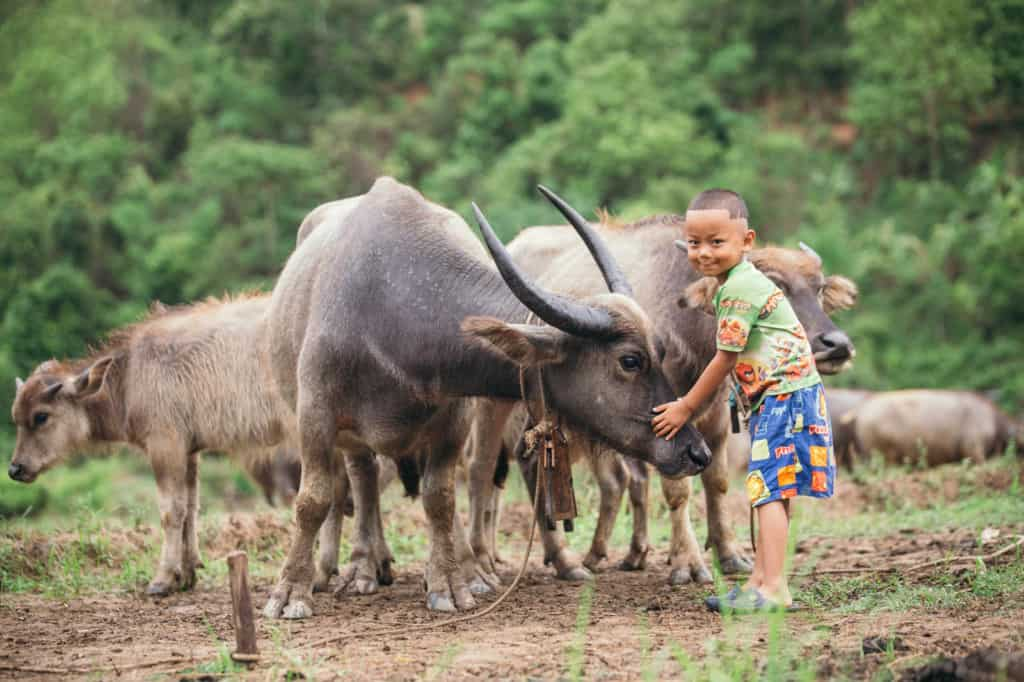 Boy wearing blue shorts and a green shirt. He is in a field taking care of his family's bufalos. His favorite is a female named Mae-Preaw. He is standing with his hand on her nose.