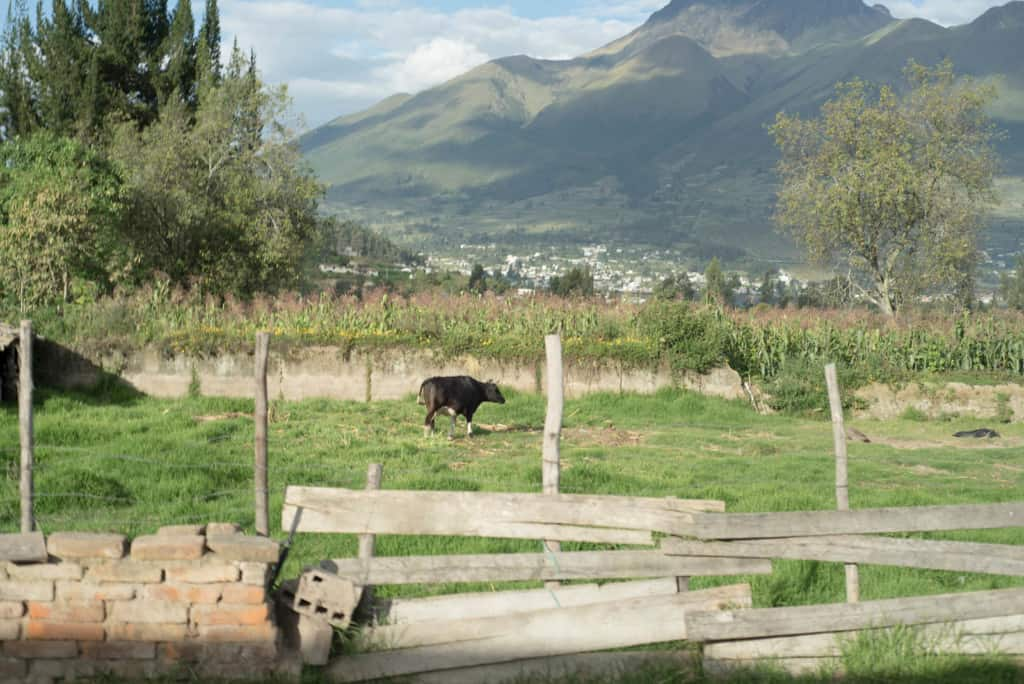 Livestock and crops in the mountains near Otovalo, Ecuador. A cow is in a field on the other side of a brick, wire and wood fence.