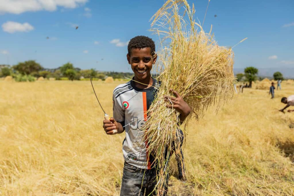 A boy who is holding a sickle is helping to harvest.
