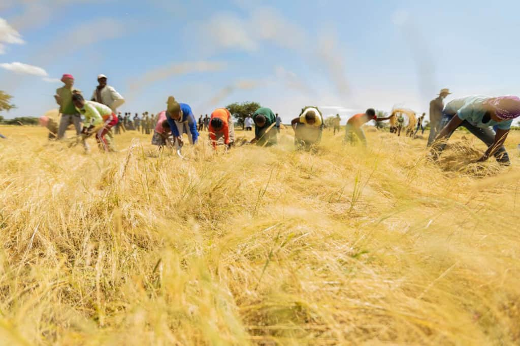 A group of men are harvesting in a field.